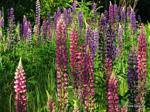 Mulit coloured Lupins along the roadside