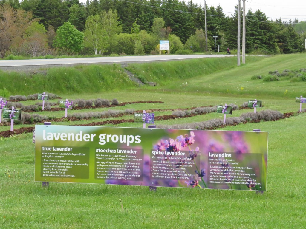Seafoam Lavender, Northumberland Shore